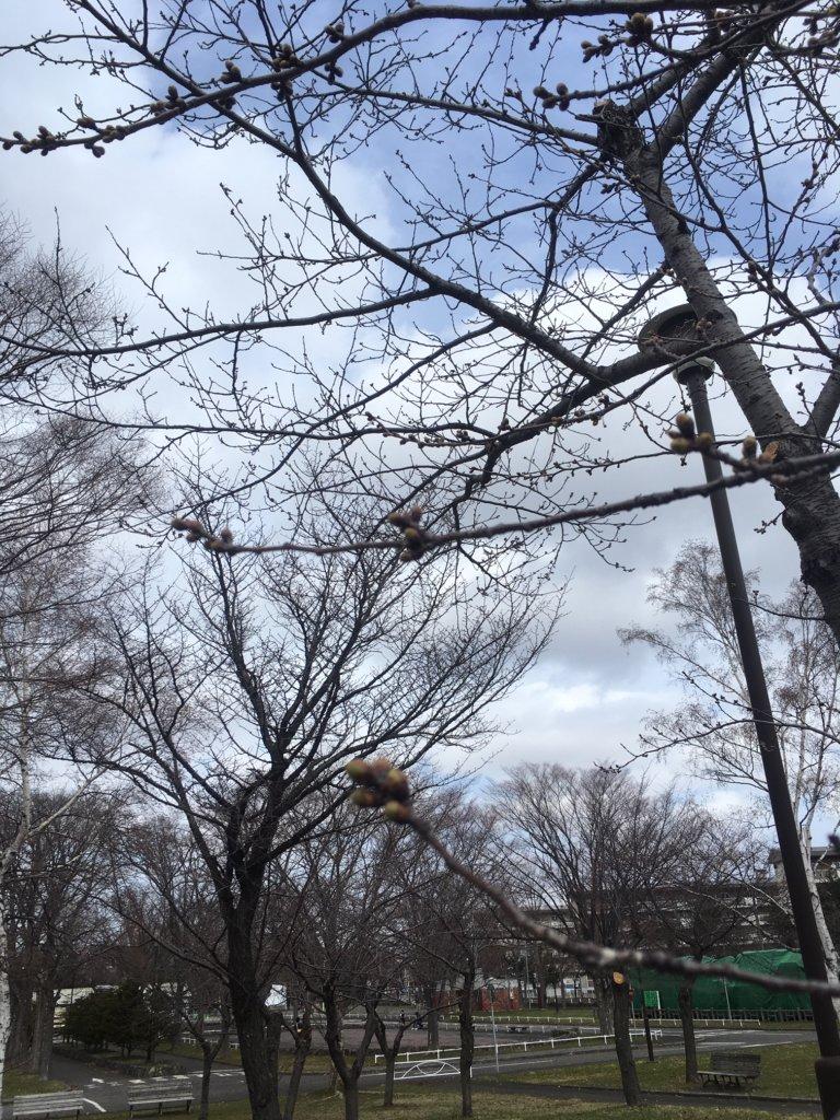農試公園 桜の蕾2